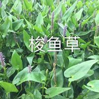 精品水生梭鱼草/优质梭鱼草行情/杭州梭鱼草报价