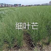 细叶芒,斑叶芒,香菇草,金鱼藻,苦草,伊乐藻,菹草,小茨藻,