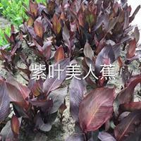 紫叶美人蕉/黄花美人蕉/花叶美人蕉/紫叶美人蕉/金叶苔草