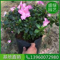 福建杜鵑花的養殖方法 杜鵑花基地直銷 可供全國杜鵑花