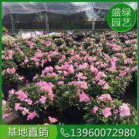 漳州杜鵑花價格(高40,冠50,18元) 杜鵑花基地
