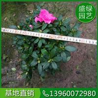 福建杜鵑花價格(高30,冠35,37元) 漳州杜鵑花價格