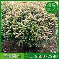 漳州红叶石楠球价格(高100,冠100,89元)红叶石楠球