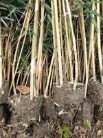 2米到3米高琴丝竹又发云南永善,2米高琴丝竹批发价格