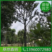 米徑10-30公分樸樹,福建樸樹基地 樸樹價格