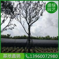 福建樸樹的種植技術和養護方法 漳州樸樹 樸樹基地直銷