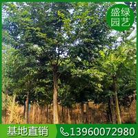 福建樸樹價格(米徑16,高550,冠400,3460元)