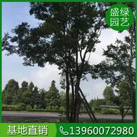 漳州樸樹栽培技術 樸樹哪里便宜 漳州樸樹價格便宜