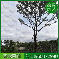 福建樸樹價格(米徑15,高400,冠300,885元)樸樹