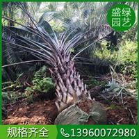 漳州布迪椰子价格 漳州布迪椰子基地 漳州布迪椰子供应