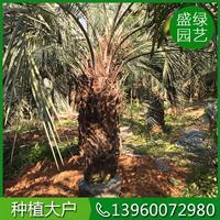 布迪椰子介绍 布迪椰子繁殖方法 福建布迪椰子