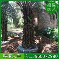 漳州布迪椰子栽培技术 哪里有布迪椰子 漳州布迪椰子基地