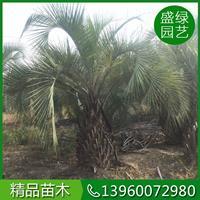 福建布迪椰子价格(高200,冠400,价格50元)