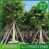 福建大叶榕价格(米径10,高200,冠300,价格12元)