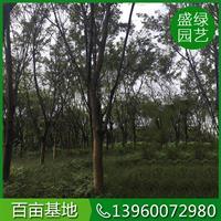 漳州大叶榕(米径18,高600,冠400,地径20,470)