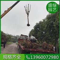 福建大叶榕栽培技术 福建大叶榕介绍 大叶榕规格齐全