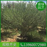 漳州木槿的繁殖方法 漳州木槿介绍 福建精品木槿基地