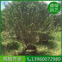 福建木槿的栽培技术 福建精品木槿自产自销