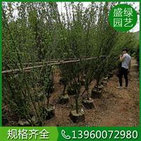 福建木槿价格(高300,冠160,价格83元)漳州木槿价格