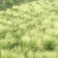 墨西哥羽毛草,墨西哥羽毛草基地