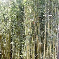 江苏沭阳县供应大量刚竹、金镶玉竹、箬竹、青皮竹、早园