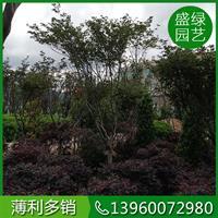 种植红枫树方法如下 漳州红枫基地直销