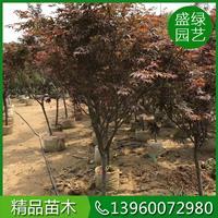 红枫树养护的相关介绍 漳州红枫 福建红枫