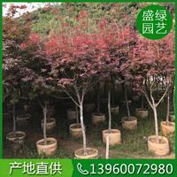 7-12红枫价格 可供全国红枫 哪里有红枫