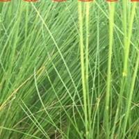 墨西哥羽毛草