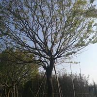 福建移植樸樹大量供應,福建樸樹哪里*便宜