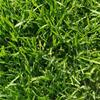 冷季型草坪