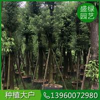 供應各種類型香樟樹,提供*新香樟樹價格信息
