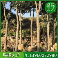 福建香樟移栽方法 漳州香樟移栽方法 可供全国香樟