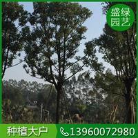 福建香樟栽培技術 漳州香樟栽培技術 香樟資產自銷