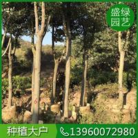 骨架香樟基地 可供全国骨架香樟 骨架香樟自产自销