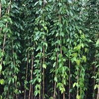 四川成都供应常绿油麻藤长度1--5m