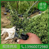 漳州金边六月雪的繁殖栽培 金边六月雪介绍 金边六月雪小苗