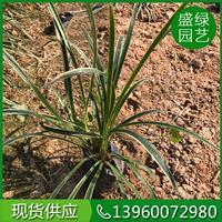 福建金边麦冬介绍 金边麦冬繁殖方法 沿阶草繁殖方法