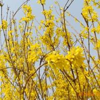 处理!大量黄金条低价出售,价格优惠!春天开黄花,效果非常好!