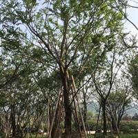 福建精品樸樹哪里有,生產基地在哪里