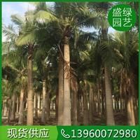 国王椰子行情报价/国王椰子图片展示