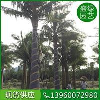 漳州大小规格国王椰子基地 漳州国王椰子农户自产自销