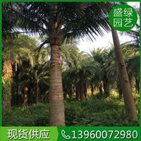 福建国王椰子介绍/国王椰子特征/国王椰子用途