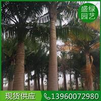 漳州国王椰子介绍/漳州国王椰子特征/用途