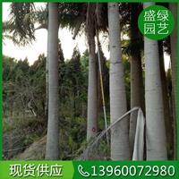 福建供应国王椰子 福建国王椰子规格齐全 国王椰子基地实拍图
