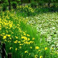 花叶水葱常年供应【水生植物】花叶水葱养殖