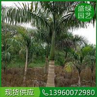 大小规格大王椰子 基地
