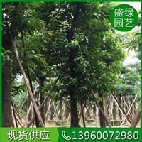 漳州大叶榕优质特价产地直销 漳州大叶榕便宜
