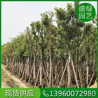 福建供应大叶榕规格齐全绿化产业群