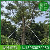 漳州大小规格凤凰木基地 漳州凤凰木介绍